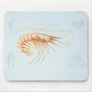 Anatomía del camarón del vintage, animales del mousepad