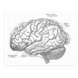 Anatomía del cerebro del vintage postal
