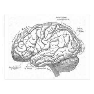 Anatomía del cerebro del vintage postales