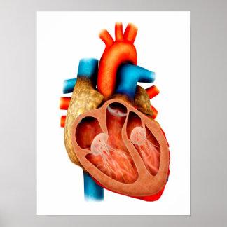 Anatomía del corazón humano, seccionada póster