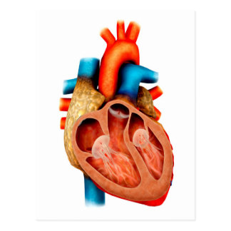 Anatomía del corazón humano, seccionada postal