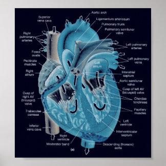 Anatomía del corazón póster