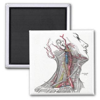 Anatomía del cuello imán cuadrado