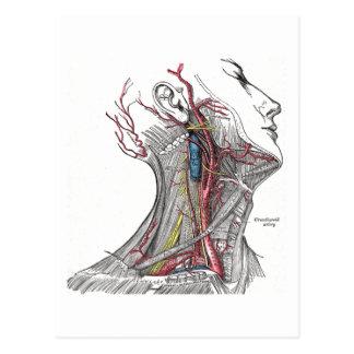 Anatomía del cuello tarjetas postales