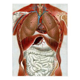 Anatomía del cuerpo humano postal