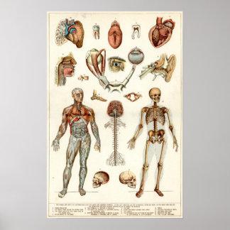Anatomía del cuerpo humano posters
