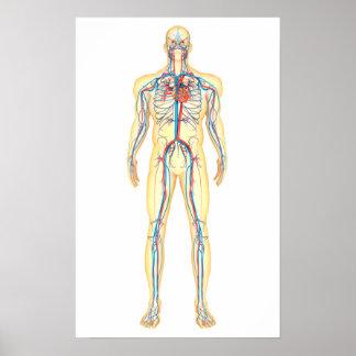 Anatomía del cuerpo humano y del sistema póster