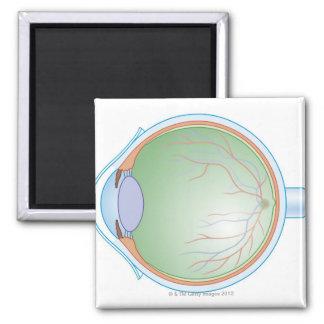 Anatomía del ojo humano imán cuadrado