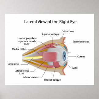 Anatomía del poster de la órbita de los ojos human