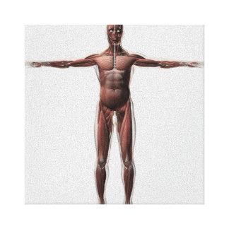 Anatomía del sistema muscular masculino, vista lienzo envuelto para galerias