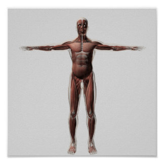 Anatomía del sistema muscular masculino, vista poster