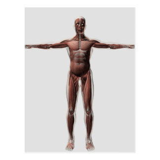 Anatomía del sistema muscular masculino, vista tarjeta postal