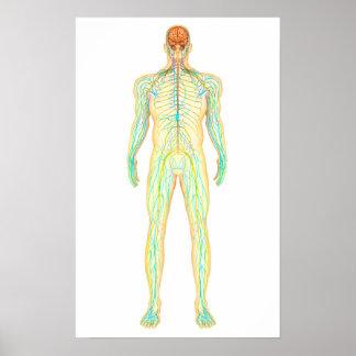 Anatomía del sistema nervioso y linfático humano posters