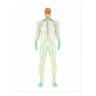 Anatomía del sistema nervioso y linfático humano tarjetas postales
