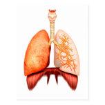 Anatomía del sistema respiratorio humano, vista tarjeta postal