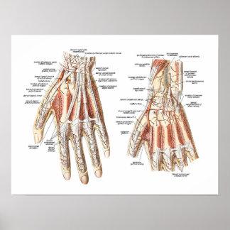Anatomía esquelética de la mano posters