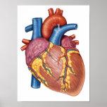 Anatomía gruesa del corazón humano póster