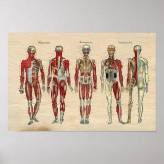 Anatomía humana 1841 nervios de los músculos de la póster