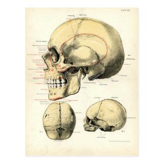 Anatomía humana - el cráneo postales