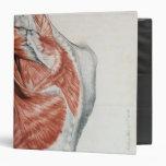 Anatomía humana; Músculos del torso y del hombro