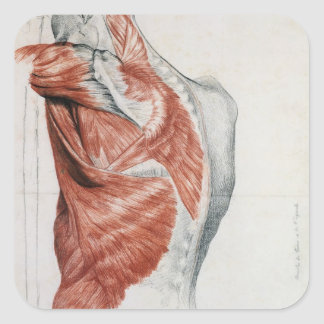 Anatomía humana; Músculos del torso y del hombro Pegatina Cuadrada