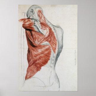 Anatomía humana; Músculos del torso y del hombro Póster