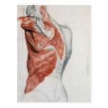 Anatomía humana; Músculos del torso y del hombro Tarjeta Postal