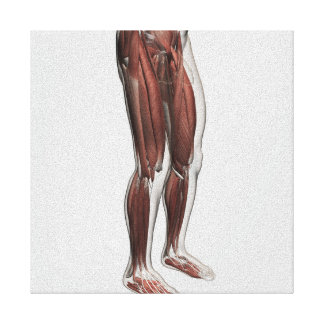 Anatomía masculina de las piernas humanas, 1 lona envuelta para galerías