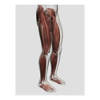 Anatomía masculina de las piernas humanas, 1 postales