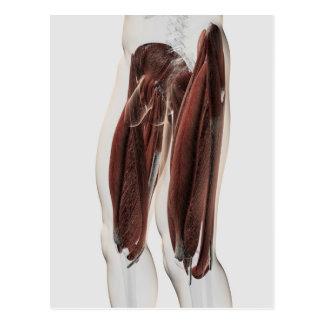 Anatomía masculina de las piernas humanas, vista postal