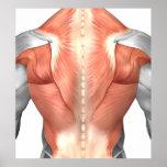 Anatomía masculina del músculo de la parte póster