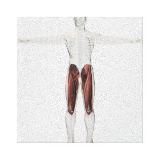Anatomía masculina del músculo de las piernas lienzo envuelto para galerías