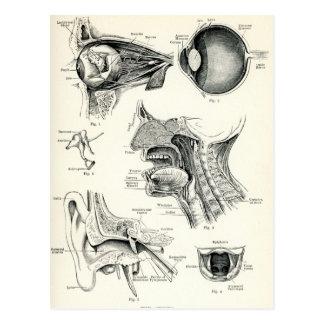 Anatomía - sentidos del ser humano postal