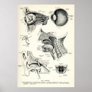 Anatomía - sentidos del ser humano póster