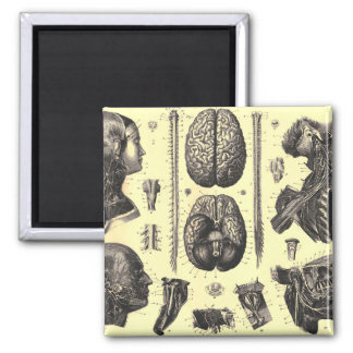 Anatomical Brain and More Magnet