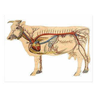 Anatomical Cute Cow Postcard