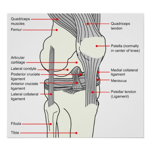 Anatomical Diagram of a Human Right Knee Joint Posters