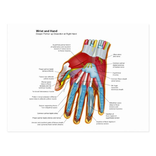 Anatomical Diagram of the Human Hand and Wrist Post Cards