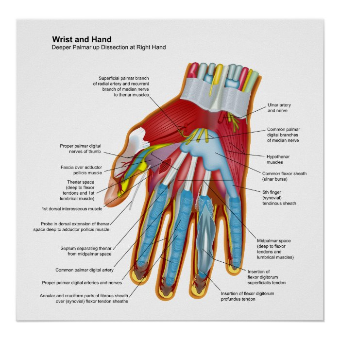 Anatomical Diagram Of The Human Hand And Wrist Poster