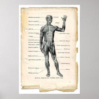 Anatomy Anterior Poster