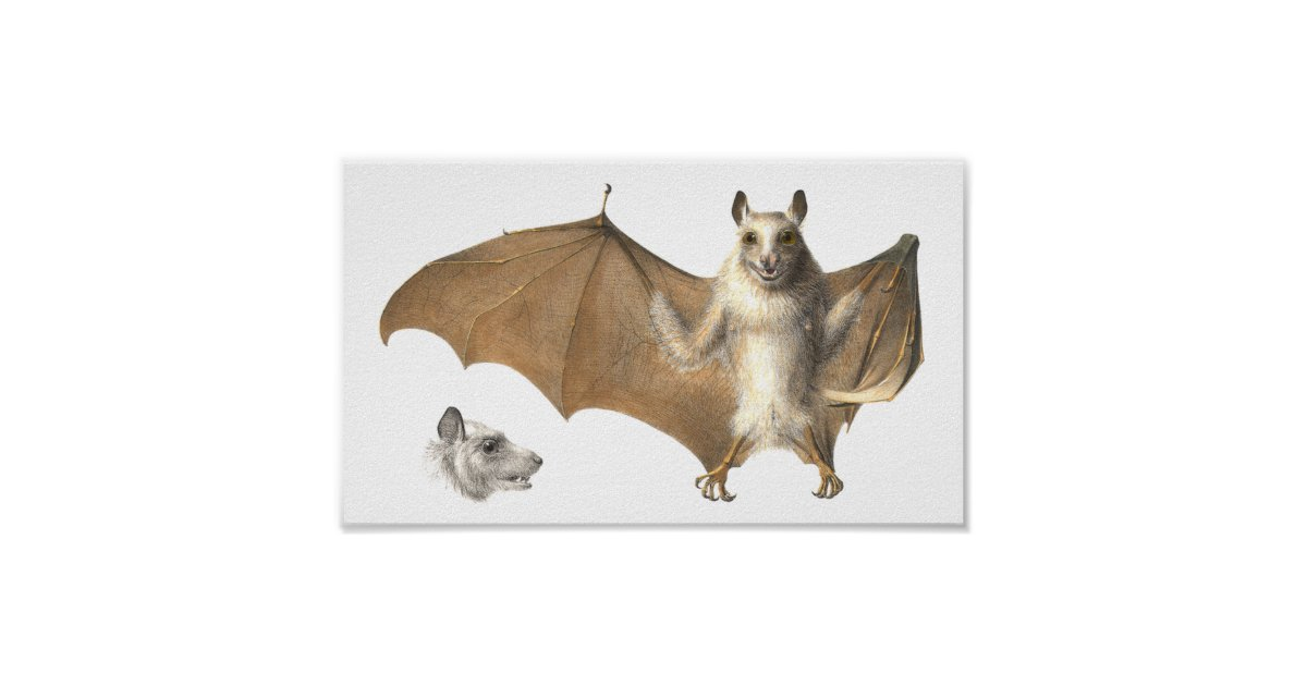 Anatomy Of A Fruit Bat Antique Engraving Poster Zazzle
