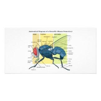 Anatomy of a Housefly Diagram Musca Domestica Card