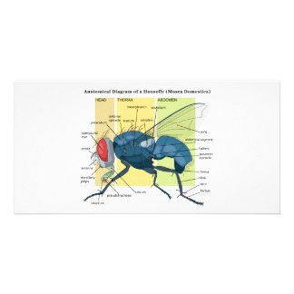 Anatomy of a Housefly Diagram Musca Domestica Photo Card