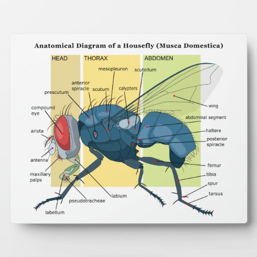 Housefly diagram housefly diagram photo16 ccuart Image collections