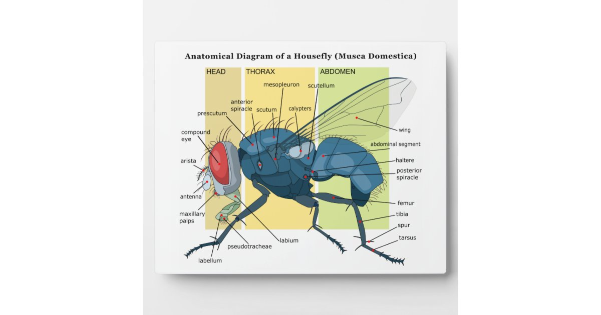 Housefly Diagram