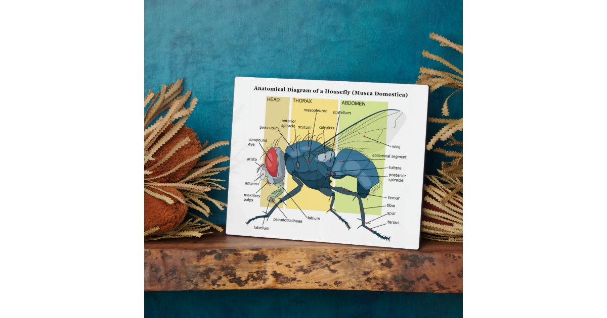 Housefly diagram animalcarecollegefo housefly diagram ccuart Gallery
