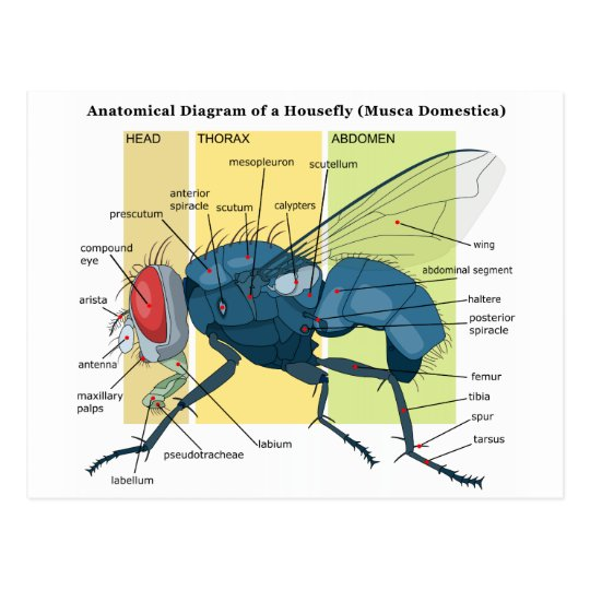 anatomy of a housefly diagram musca domestica postcard zazzle com House Diagram