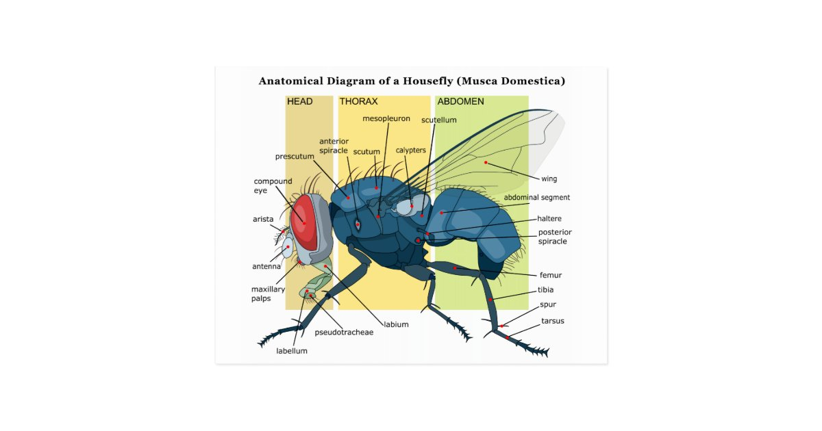 Anatomy of a Housefly Diagram Musca Domestica Postcard | Zazzle.com