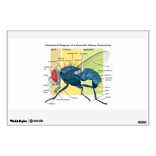 Anatomy of a housefly diagram musca domestica wall sticker zazzle anatomy of a housefly diagram musca domestica wall sticker ccuart Choice Image