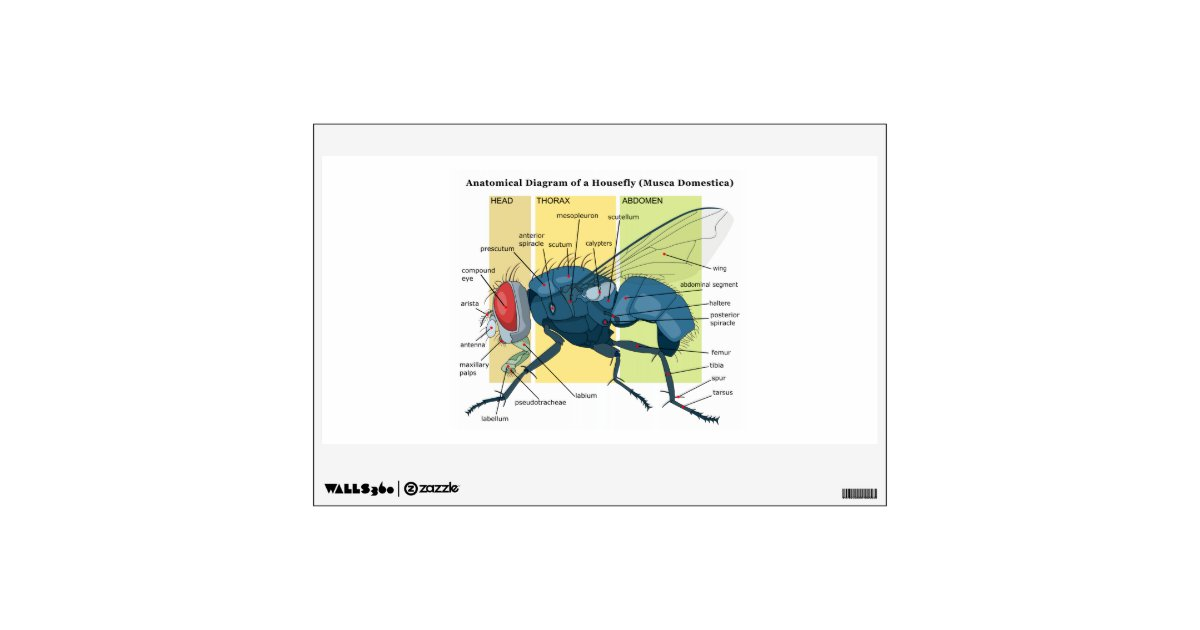 Anatomy of a housefly diagram musca domestica wall sticker zazzle ccuart Image collections